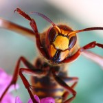 Close-up of a cheering European Hornet (Vespa crabro) - funny im